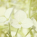Closeup of hydrangea flowers with vintage background Poster by Sandra Cunningham