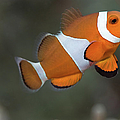 Clown Anemonefish (amphiprion Ocellaris) Print by Steven Trainoff Ph.D.