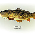 Common Carp Print by Ralph Martens