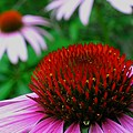 Coneflowers Print by Juergen Roth
