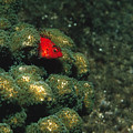 Coral Hawkfish Hiding In Coral Poster by James Forte