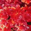 Coral Pink Azaleas Print by Jan Amiss Photography