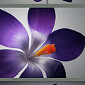 Crocus Triptych. Print by Terence Davis