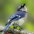 Curious Blue Jay Print by Inspired Nature Photography By Shelley Myke