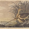 Curlew Poster by John James Audubon