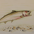 cutthroat trout Print by Jeff Harrell