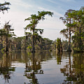 Cypress Trees and Spanish Moss in Lake Martin Print by Louise Heusinkveld