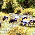 Dairy Cows in a Summer pasture Print by Janine Riley
