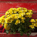 Daisy Plant In Drawers Poster by Garry Gay