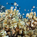 Damselfish Among Coral Print by Dave Fleetham - Printscapes