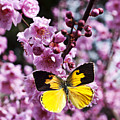 Dogface butterfly in plum tree Poster by Garry Gay