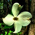 Dogwood Blossom I by Julie Dant