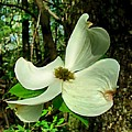 Dogwood Blossom II Print by Julie Dant