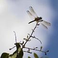 Dragonfly On A Limb Poster by Dustin K Ryan