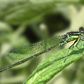 DragonFly1 Poster by Svetlana Sewell