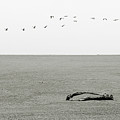 Driftwood Log and Birds - A Gray Day On The Beach Poster by Christine Till