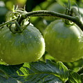 Drops on immature green tomatoes after a rain shower Print by Sami Sarkis