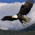 Eagle Flying in Sunlight Print by John Hyde - Printscapes