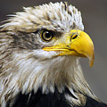 Eagle Print by Harry Spitz