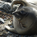 Elephant Seal Print by Ernie Echols