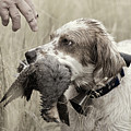 English Setter and Hungarian Partridge - D003092a Print by Daniel Dempster