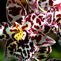 Exotic Orchids of C Ribet Print by C Ribet