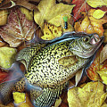 Fall Crappie Poster by JQ Licensing
