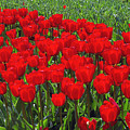 Field of Red Tulips Print by Sharon  Talson