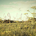 Field of wild dill in the afternoon sun  Print by Sandra Cunningham