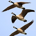 Flight of Three Geese Poster by Wingsdomain Art and Photography