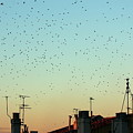 Flock of swallows flying over rooftops at sunset during fall Print by Sami Sarkis
