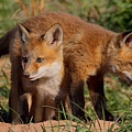 Fox Cubs Playing Print by William Jobes