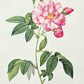 French Rose Print by Pierre Joseph Redoute