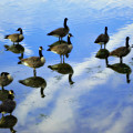 Geese Lake Reflections  Poster by Randy Steele