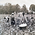 Georgia Cotton Field - c 1898 Print by International  Images