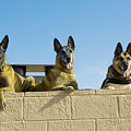 German Shephard Military Working Dogs Poster by Stocktrek Images