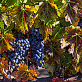 Grapes of the Napa Valley Print by Garry Gay