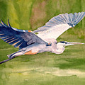 Great Blue Heron Poster by Pauline Ross