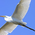 Great White Egret In Flight . 40D6850 Poster by Wingsdomain Art and Photography