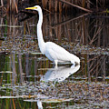 Great White Egret Print by James Marvin Phelps
