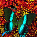 Green blue butterfly Print by Garry Gay