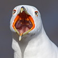 Gull Portrait Poster by Mircea Costina Photography