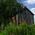 HollyHock Barn Print by Michael L Kimble