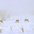 Horses Grazing in a Field of Snow and Fog Poster by Steve Ohlsen