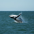Humpback Whale Breaching Poster by Peter K Leung