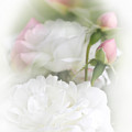 Illusions of White Roses and Pink Rosebuds Poster by Jennie Marie Schell