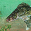Illustration Of A Walleye Swimming Poster by Carlyn Iverson