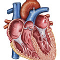 Interior Of Human Heart Poster by Stocktrek Images