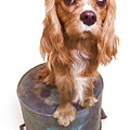 King Charles Spaniel Puppy Print by Edward Fielding