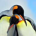 King Penguin Print by Tony Beck